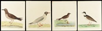 the sea lark (pg 80), the petteri (page 92), the rown headed gull (page 86 vol 2) and the brown gull (page 85 vol 2) (4 works) by eleazar albin
