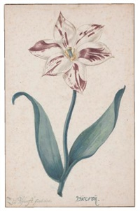 a tulip: viceroÿ by zacharias blyhooft