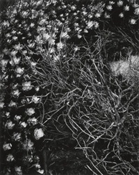 sedum, point lobos, california by minor white