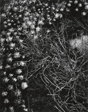 sedum point lobos california by minor white