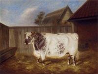 a two year old shorthorn bullock by j. blazeby