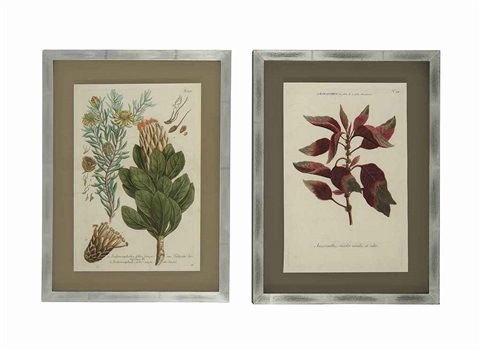 botanical from phytanthoza iconographia 12 works by johann wilhelm weinmann