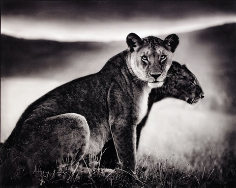 sitting lionesses serengeti by nick brandt