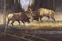 bull elks fighting by dennis anderson