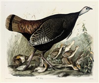 wild turkey, pl. 4 (after john james audubon) by william home lizars