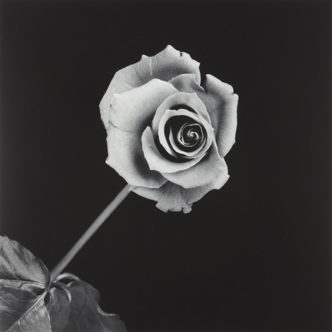 rose by robert mapplethorpe