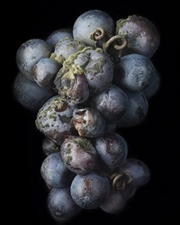 noble rot -8 by peter lippmann