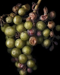 noble rot -7 by peter lippmann