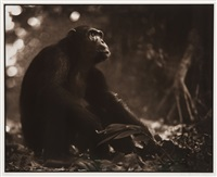 portrait of old chimpanzee, mahale (from on this earth portfolio) by nick brandt