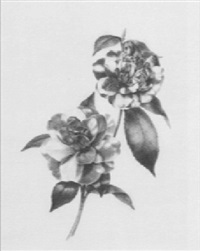 a pink and white variegated camellia by edwin dalton smith