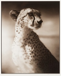portrait of cheetah against dark sky - maasai mara (from on this earth portfolio) by nick brandt