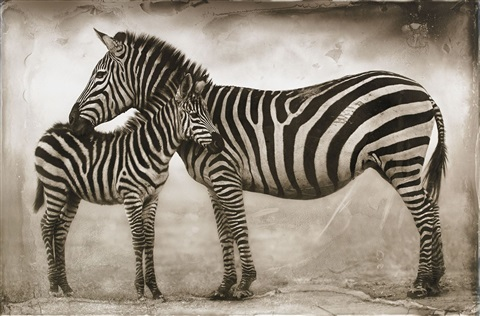 zebra mother and baby ngorongoro by nick brandt