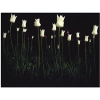 white tulips by giovanni castell