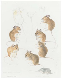 studies of wood mice and a shrew by mildred eldridge