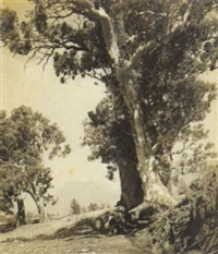 gums of the flinders ranges by harold p. cazneaux