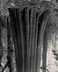 cedars, stanley park 2 by rodney graham