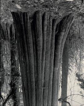 cedars stanley park 2 by rodney graham
