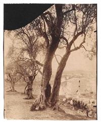 oliviers, nice (2 works) by eugène atget