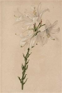 lilium candidum (+ dianthus plumarius flore pleno; 2 works) by josef knapp