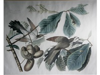 yellow-billed cuckoo' (plate ii) (after john james audubon) by william home lizars