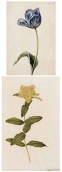 tulpe (+ johanniskraut, lrgr; 2 works) by josef knapp