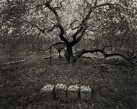 old greening apple tree, hudson river, ny (+ apple blossoms, velarde, new mexico; 2 works) by william clift