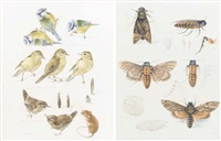 studies of blue tits, willow warblers and wrens (+ studies of moths, smlr; 2 works) by mildred eldridge