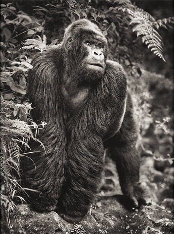 gorilla on rock parc des volcans by nick brandt