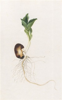 a sprouting bean by jacob l' admiral the younger