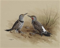 red-shafted flicker by james fenwick lansdowne