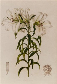a supplement to elwes' monograph of the genus lilium by lilian snelling