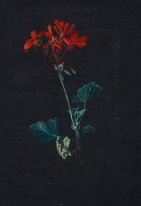 blühender geranienzweig by ursula magdalena reinheimer