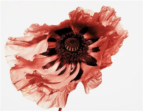 poppy showgirl new york by irving penn