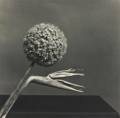 bird of paradise by robert mapplethorpe