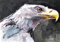 head of a white tailed sea eagle by mark adlington