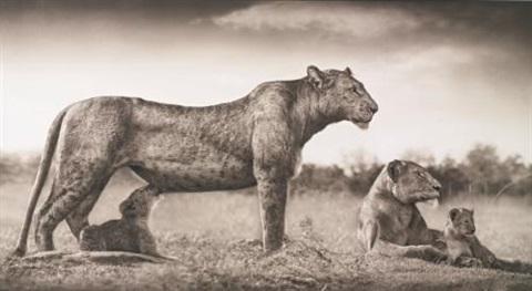 lioness with feeding cubs masai mara by nick brandt