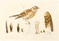 skylark study by mildred eldridge