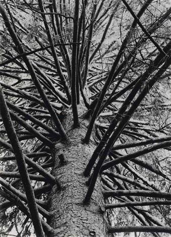 astwerk einer solitärfichte astwerk a solitary spruce by albert renger patzsch