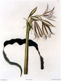crinum ornatum (from a selection of hexandrian plants, by robert havell) by priscilla susan bury