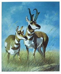 pronghorn antelope by peter darro