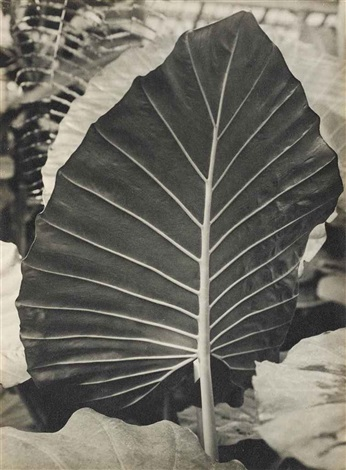 rückseite eines blattes von colocasia antiquorum sides of a sheet of colocasia antiquorum by albert renger patzsch