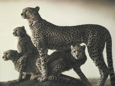 cheetah and cubs maasai mara by nick brandt
