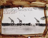 giraffes in mirage on the taru desert, kenya, june by peter beard