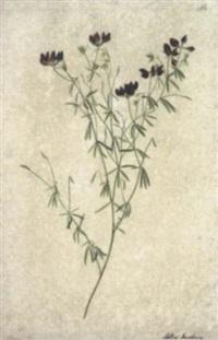 lotus jacobus by josef knapp