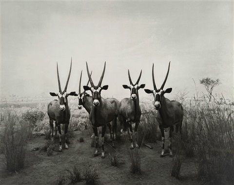 gemsbok end of time exhibition poster by hiroshi sugimoto