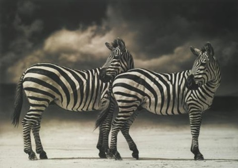 zebras turning heads ngorongoro crater by nick brandt