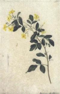 jasminum odoratissimum by josef knapp