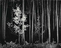 aspens, northern new mexico, 1958 by ansel adams