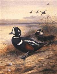 harlequin duck by john guille millais