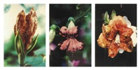 infectious flowers (zoster of supravicular dermatomes) (+ 2 others; 3 works) by mat collishaw